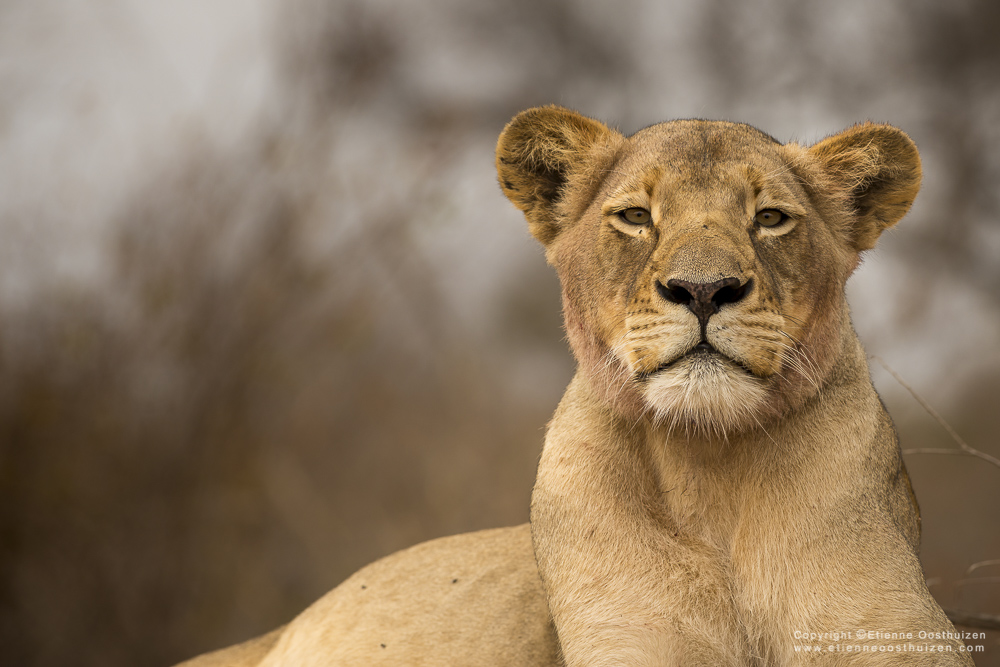 lioness-behaviour
